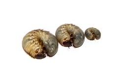 Beetle larvae Stock Images