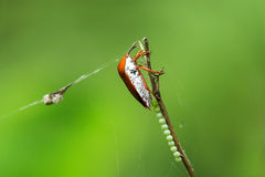 Beetle lays eggs on dry branch Stock Image