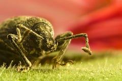 Beetle on leaf Royalty Free Stock Image