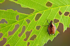 Beetle on leaf Stock Photo