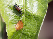 Beetle on a leaf of an Apple tree Stock Photo
