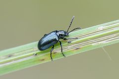 Beetle. Leaf beetle Oulema gallaeciana on grass. Close up Royalty Free Stock Photos
