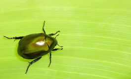 Beetle on Leaf Stock Photography