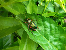 Beetle on a leaf. Macro picture of golden beetle on a green leaf Royalty Free Stock Images