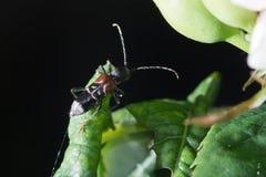 Beetle on the leaf. Macro of beetle standing on a leaf Stock Photo