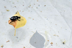 Beetle on a leaf in the pool Stock Photos