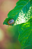 Beetle on the leaves Stock Photo