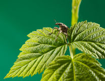 Beetle between leaves Stock Photography
