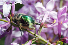 Beetle and liliac. A macro shot of a beetle Royalty Free Stock Image