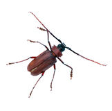 Beetle long antennae isolated Royalty Free Stock Photo