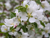 Beetle-Longhorn beetle on the flowers of Apple. Spring.Apple tree in bloom. Beetle-Longhorn beetle on the flowers of Apple. Spring stock images