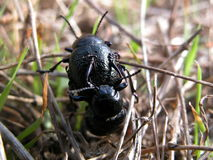 Beetle in love. Beetles in the approach phase for the reproduction Royalty Free Stock Photo