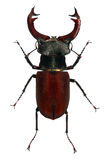 Beetle of Lucanus cervus Stock Photography