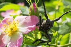 Beetle lumberjack sitting on a rose Stock Images