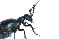 Beetle Macro. Isolated close up of a beetle Coleoptera Royalty Free Stock Photo
