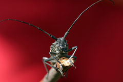 Beetle. Macro beetle with long antennae sitting on a branch on a red background Stock Photography