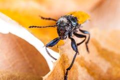 Beetle macro Stock Photography