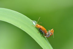 Beetle mating Stock Photos