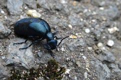 Beetle meloe. Dark metal shiny beetle Meloe Royalty Free Stock Photos