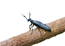 Beetle (Meloe sp. violatus) 1 Royalty Free Stock Photography