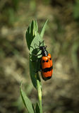 Beetle meloidae Stock Image