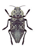 Beetle Metallic wood borer Capnodis cariosa Stock Images