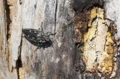 Beetle Metallic wood borer Chalcophora mariana. A borer beetle Chalcophora mariana in the forest; Females lay eggs in the cracks of the bark of pine trees stock images