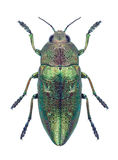 Beetle Metallic wood borer Chalcophorella stigmatica Stock Photography