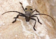 Beetle Morimus funereus. Morimus funereus is a species of beetle in family Cerambycidae. It is found in Belgium, Croatia, Slovenia, the Czech Republic, Germany Stock Photo