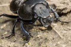 Beetle moving in sand road in hot day stock photos