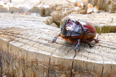 A beetle named rhinoceros (cervus) on the stub Stock Images