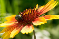 The beetle is a nectar sitting on a flower with brightly red yellow petals. On a colored background. Macro Stock Photos