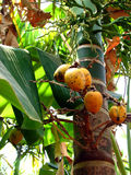 Beetle Nuts. Beetlenuts hanging from a beetlenut tree in the Indian tropics Stock Photos
