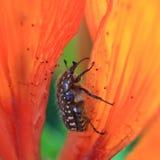 Beetle Olenka shaggy stock images