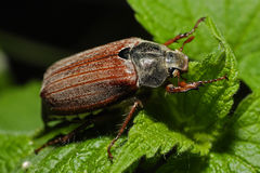 Free Beetle On The Leaf Royalty Free Stock Images - 13349149