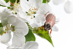 Beetle in orchard Royalty Free Stock Photography