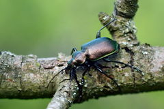 Beetle outdoor on the tree Stock Photography