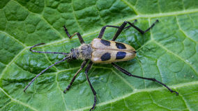 Beetle Pachyta quadrimaculata Royalty Free Stock Photos