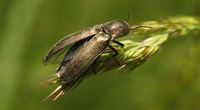 Beetle Royalty Free Stock Photos