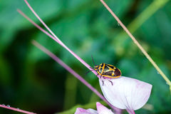 Beetle. A beetle is perched on a colorful flower after the rain Royalty Free Stock Photos