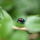 A Beetle perched on a plant leaf. Superfamily Scarabaeoidea, Fam Royalty Free Stock Photos