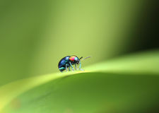 A Beetle perched on a plant leaf. Superfamily Scarabaeoidea, Fam Stock Images