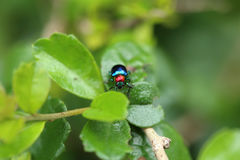 A Beetle perched on a plant leaf. Superfamily Scarabaeoidea, Fam Stock Photography