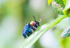 A Beetle perched on a plant leaf Stock Images