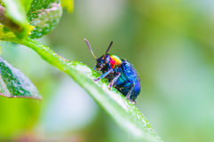 A Beetle perched on a plant leaf Stock Photography