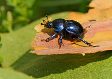 Beetle on the piece of bark tree. On a background green falling off leaf Royalty Free Stock Image