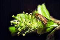 Beetle on a plant macro Royalty Free Stock Photography