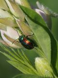 Leaf beetle on plant in sunny day. Closeup of leaf beetle on plant in sunny day Royalty Free Stock Images