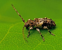 Beetle Pogonocherus fasciculatus Stock Photos