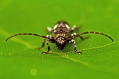 Beetle Pogonocherus fasciculatus Royalty Free Stock Photos